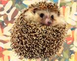 Hedgehog greetings
