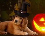 Puppy and pumpkin